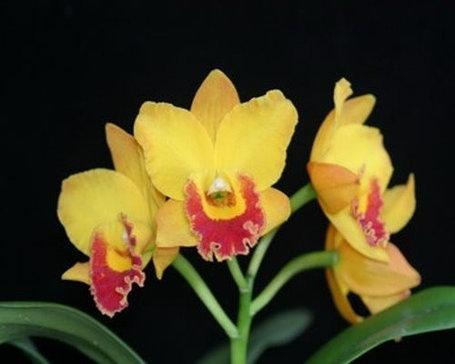 """Орхидея азиатская. Под Заказ! Blc. Husky Boy """"Michael"""". Размер: 2.5""""., фото 2"""