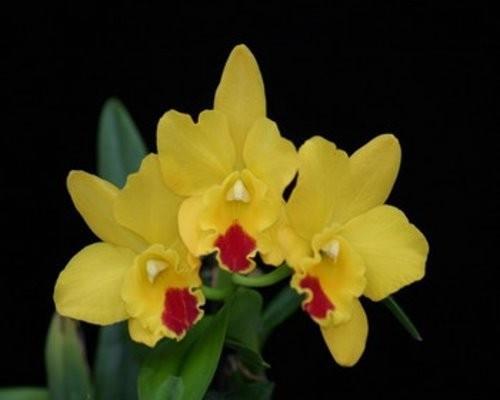 """Орхидея азиатская. Под Заказ! Blc. Husky Boy """"Romeo"""". Размер: 2.5""""."""