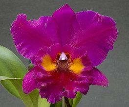 "Орхидея азиатская. Под Заказ! Blc. King of Taiwan (Blc. Bryce Canyon × Blc. Purple Ruby). Размер: 3.5""."