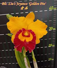 """Орхидея азиатская. Под Заказ! Blc. Liu's Joyance """"Golden Pin"""". Размер: 2.5""""."""