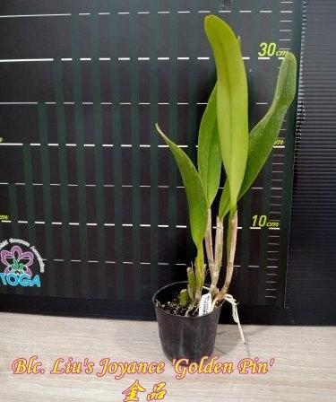 """Орхидея азиатская. Под Заказ! Blc. Liu's Joyance """"Golden Pin"""". Размер: 2.5""""., фото 2"""