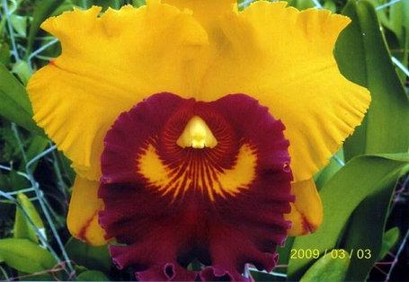 "Орхидея азиатская. Под Заказ! Blc. Liu's Joyance ""Panther"". Размер: 4.5""., фото 2"