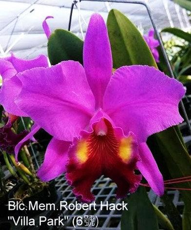 """Орхидея азиатская. Под Заказ! Blc. Mem.Robert Hack """"Villa Park"""". Размер: 3.5""""., фото 2"""