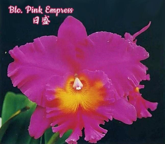 """Орхидея азиатская. Под Заказ! Blc. Pink Empress. Размер: 4.5""""."""