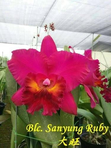 """Орхидея азиатская. Под Заказ! Blc. Sanyung Ruby. Размер: 3""""."""