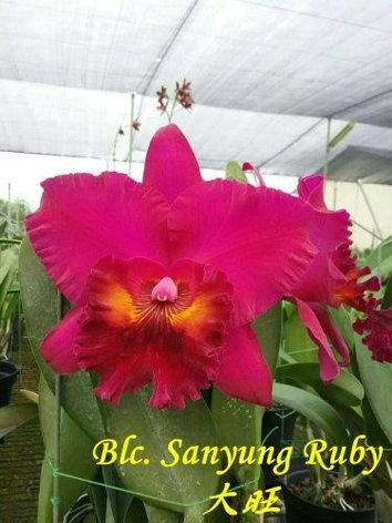 "Орхидея азиатская. Под Заказ! Blc. Sanyung Ruby. Размер: 3""., фото 2"