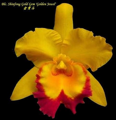"""Орхидея азиатская. Под Заказ! Blc. Shinfong Gold Gem """"Golden Jewel"""". Размер: 3""""."""