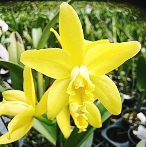 "Орхидея азиатская. Под Заказ! Blc. Waikiki Gold × L. briegeri. Размер: 3""."