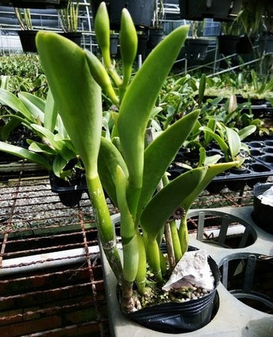"Орхидея азиатская. Под Заказ! Blc. Waikiki Gold × L. briegeri. Размер: 3""., фото 2"