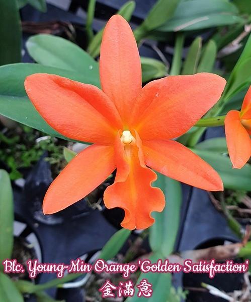 """Орхидея азиатская. Под Заказ! Blc. Young-Min Orange """"Golden Satisfaction"""". Размер: 2""""."""