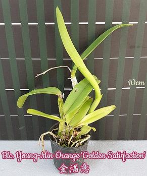"""Орхидея азиатская. Под Заказ! Blc. Young-Min Orange """"Golden Satisfaction"""". Размер: 2""""., фото 2"""