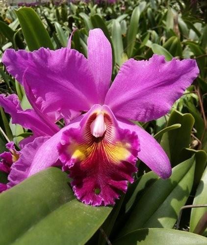 "Орхидея азиатская. Под Заказ! Blc.Mem. Crispin Rosales. Размер: 3.5""."