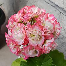 Apple Blossom Rosebud/розебуд / укор.черенок