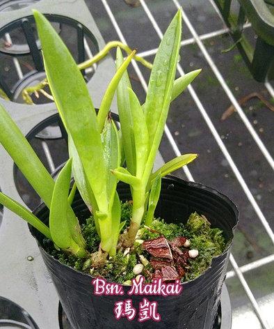 """Орхидея азиатская. Под Заказ! Bsn. Maikai. Размер: 2.5""""., фото 2"""