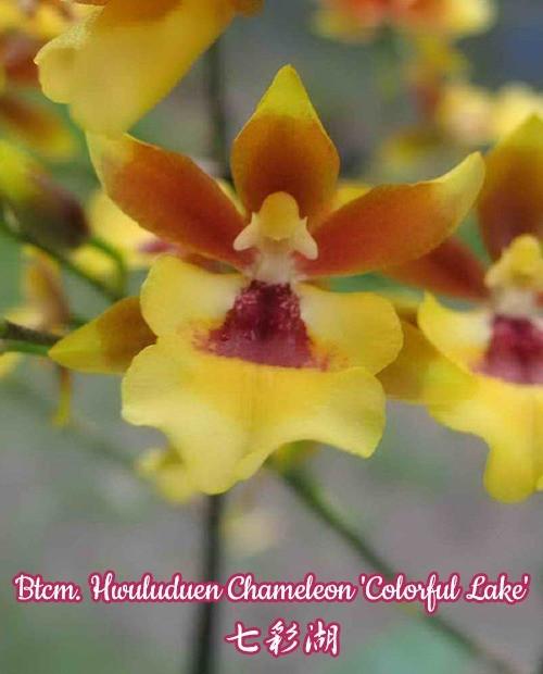 """Орхидея азиатская. Под Заказ! Btcm. Hwuluduen Chameleon """"Colorful Lake"""". Размер: 2.5"""" / 3""""."""