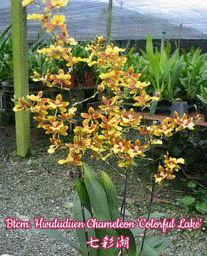"Орхидея азиатская. Под Заказ! Btcm. Hwuluduen Chameleon ""Colorful Lake"". Размер: 2.5"" / 3""., фото 2"