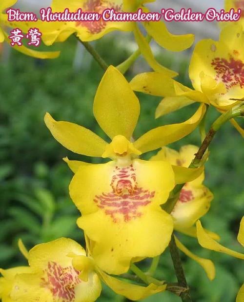 """Орхидея азиатская. Под Заказ! Btcm. Hwuluduen Chameleon """"Golden Oriole"""". Размер: 1.5"""" / 2.5"""" / 3""""."""