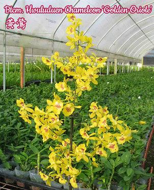 """Орхидея азиатская. Под Заказ! Btcm. Hwuluduen Chameleon """"Golden Oriole"""". Размер: 1.5"""" / 2.5"""" / 3""""., фото 2"""