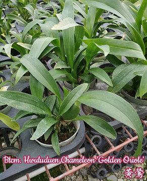 """Орхидея азиатская. Под Заказ! Btcm. Hwuluduen Chameleon """"Golden Oriole"""". Размер: 1.5"""" / 2.5"""" / 3""""., фото 3"""