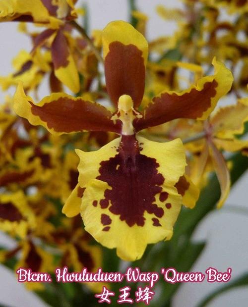 """Орхидея азиатская. Под Заказ! Btcm. Hwuluduen Wasp """"Queen Bee"""". Размер: 2.5"""" / 3""""."""