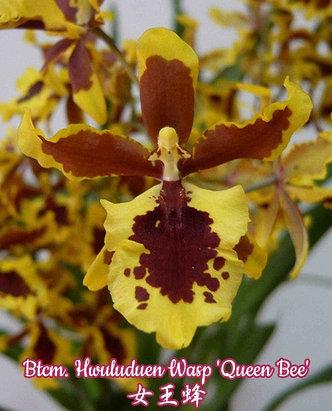"""Орхидея азиатская. Под Заказ! Btcm. Hwuluduen Wasp """"Queen Bee"""". Размер: 2.5"""" / 3""""., фото 2"""