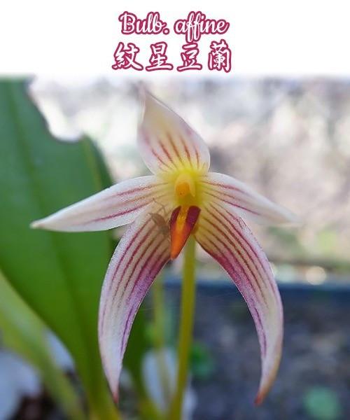 "Орхидея азиатская. Под Заказ! Bulb. affine. Размер: 2.5""."