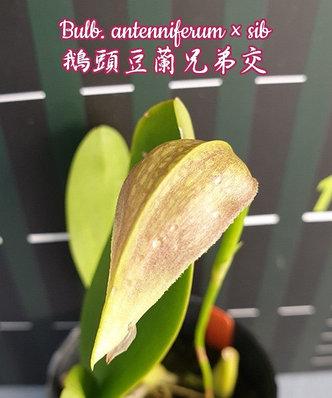 "Орхидея азиатская. Под Заказ! Bulb. antenniferum × sib. Размер: 2.5""., фото 2"