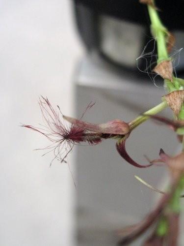"Орхидея азиатская. Под Заказ! Bulb. barbigerum. Размер: 1.5""."