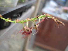 "Орхидея азиатская. Под Заказ! Bulb. barbigerum. Размер: 1.5""., фото 2"