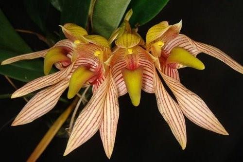 """Орхидея азиатская. Под Заказ! Bulb. bicolor. Размер: 2.5""""."""