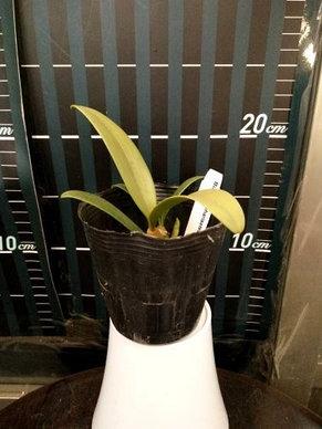 """Орхидея азиатская. Под Заказ! Bulb. blepharistes. Размер: 2.5""""., фото 2"""