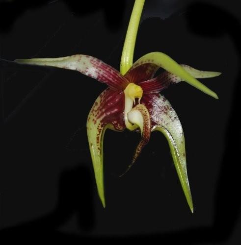 """Орхидея азиатская. Под Заказ! Bulb. cheiri. Размер: 2.5""""."""