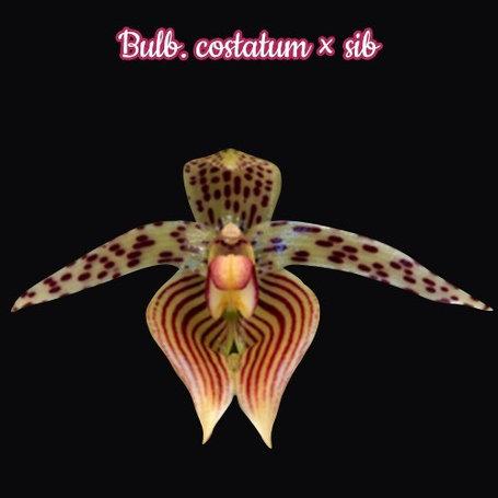 """Орхидея азиатская. Под Заказ! Bulb. costatum × sib. Размер: 2.5""""., фото 2"""