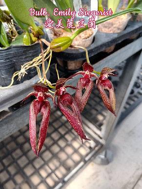 "Орхидея азиатская. Под Заказ! Bulb. Emily Siegerist. Размер: 2.5""., фото 2"