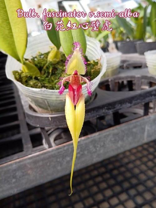 "Орхидея азиатская. Под Заказ! Bulb. fascinator v.semi-alba. Размер: 2.5""."