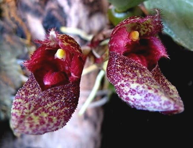"Орхидея азиатская. Под Заказ! Bulb. frostii. Размер: 2""."