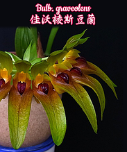 "Орхидея азиатская. Под Заказ! Bulb. graveolens. Размер: 2.5""."