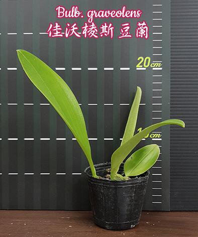 "Орхидея азиатская. Под Заказ! Bulb. graveolens. Размер: 2.5""., фото 2"