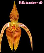 "Орхидея азиатская. Под Заказ! Bulb. inunctum × sib. Размер: 2.5""."