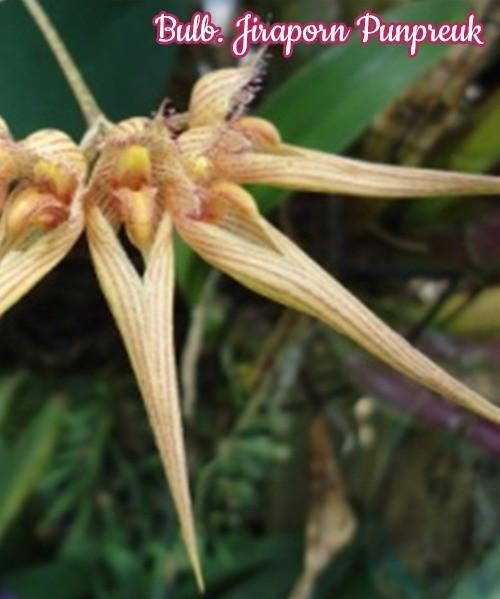 "Орхидея азиатская. Под Заказ! Bulb. Jiraporn Punpreuk. Размер: 2.5""."