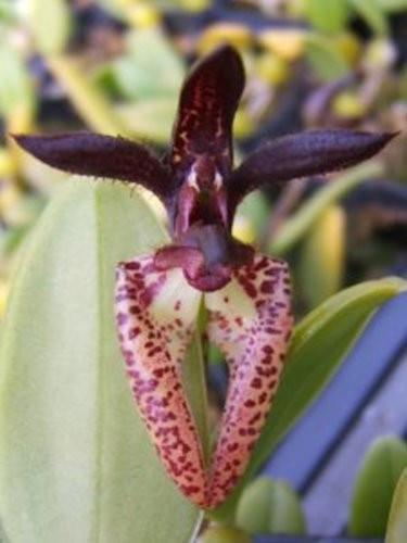 "Орхидея азиатская. Под Заказ! Bulb. lasiochilum. Размер: 2.5""."