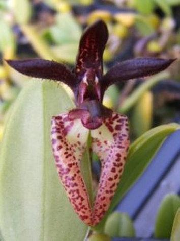 "Орхидея азиатская. Под Заказ! Bulb. lasiochilum. Размер: 2.5""., фото 2"