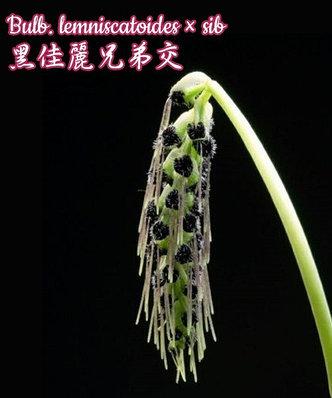 Орхидея азиатская. Под Заказ! Bulb. lemniscatoides × sib. Размер: Cork., фото 2