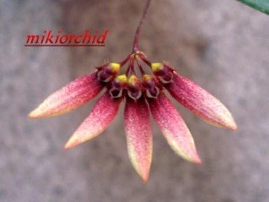 """Орхидея азиатская. Под Заказ! Bulb. lepidum. Размер: 2.5""""."""