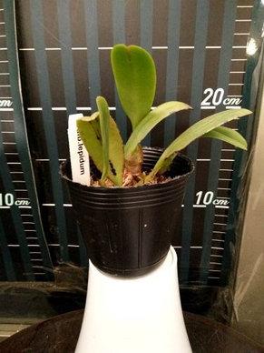 "Орхидея азиатская. Под Заказ! Bulb. lepidum. Размер: 2.5""., фото 2"