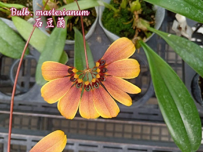 "Орхидея азиатская. Под Заказ! Bulb. masterianum. Размер: 2.5"" / 3.5""."