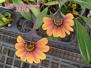"Орхидея азиатская. Под Заказ! Bulb. masterianum. Размер: 2.5"" / 3.5""., фото 2"