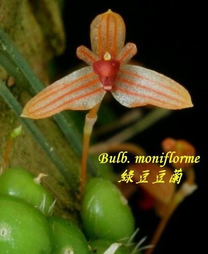 Орхидея азиатская. Под Заказ! Bulb. moniflorme. Размер: Cork.
