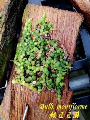 Орхидея азиатская. Под Заказ! Bulb. moniflorme. Размер: Cork., фото 2