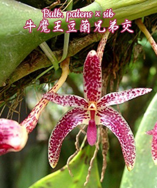 Орхидея азиатская. Под Заказ! Bulb. patens × sib. Размер: Cork.